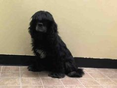 SAFE --- Manhattan Center    RUBY - A1008109   NEUTERED MALE, BLACK, COCKER SPAN MIX, 5 yrs  STRAY - STRAY WAIT, NO HOLD  Reason STRAY   Intake condition NONE Intake Date 07/25/2014, From NY 10467, DueOut Date 07/28/2014  https://www.facebook.com/Urgentdeathrowdogs/photos/a.617938651552351.1073741868.152876678058553/845213348824879/?type=3&permPage=1