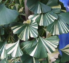 This rare and much sought after clone has wide bands of white variegation on green fan-shaped leaves - striking.like lightning tall in 8 years. Luminous butterscotch and ivory fall color. Unusual Plants, Rare Plants, Exotic Plants, Cool Plants, Tropical Plants, Colorful Plants, Trees To Plant, Plant Leaves, House Tree Plants