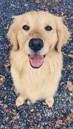 Nothing like that famous Golden Retriever smile