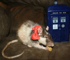 """itasteonlyshame: """" pacific-crush88: """" Bow ties are cool!! And so are rats :-) """" this is my favourite picture ever. """""""