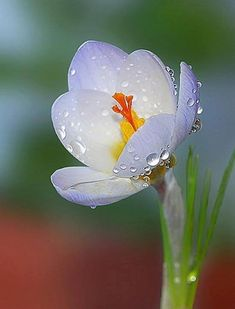 Crocus flower with raindrops