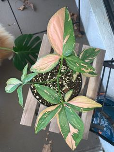 A community focused on displaying and talking about our pink plants! Patio Plants, Cool Plants, Indoor Plants, Plants Are Friends, Variegated Plants, Pink Plant, Jungles, Foliage Plants, Tropical Plants