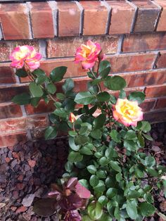 New rose bush from lowes 4-7-15