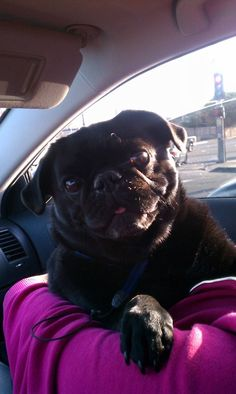 this is one of the cutest pugs i have ever seen! i just want to cuddle that big old pug head!