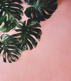 plants on pink monstera leaf - - Wallpaper Rosa, Leaves Wallpaper Iphone, Plant Wallpaper, Murs Roses, Cactus Plante, Plant Aesthetic, Pink Plant, Leaf Background, Pink Walls