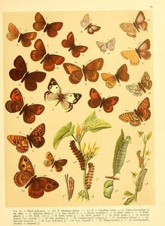 Plate 236, Lepidopterologie, 1910