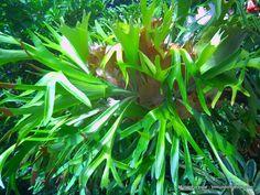 Helecho cuerno de alce (Platycerium bifurcatum). Hotel Bougainvillea, Santo Domingo de Heredia, Costa Rica.