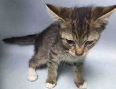 ***TO BE DESTROYED 07/10/16*** ATTENTION NEW HOPE ANGELS: KITTEN ALERT! SISSY is 5 week old tabby tot who was found as a stray.This little girl most likely wandered too far from mama cat, and lost her way. Someone scooped her up, thinking they were doing the right thing by bringing her into the shelter. Her finders must have been under the impression that the people at the ACC actually CARED about tiny baby kittens, and would work hard to fix her up and find her a great home. How wrong…