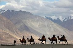 Camel safari in Ladakh, India.  These safaris generally take place in the months of July, August and September as opposed to Rajasthan, where the season is from October to March.