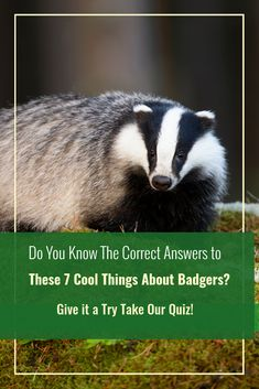 You don't need to dig too deep to know catching a glimpse of a badger is a rare sight. However, that doesn't mean they're not around – they're just good at keeping a low profile. Hunting Bows, Elk Hunting, Nocturnal Animals, Animals And Pets, Baby Badger, Slingshot Fishing, Hunting Magazines, Bowhunting, Travel Information