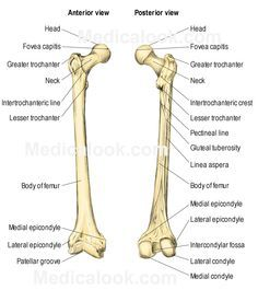 anatomy and physiology study guide legs - Google Search