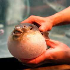 Pufferfish (Incredible Creatures) is the second most poisonous creature in the world, after the golden poison frog.   Pufferfish are poor swimmers, but can quickly ingest huge amounts of water to turn themselves into a virtually inedible ball several times their normal size.