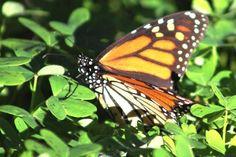 Goleta Butterfly Grove http://tripadvisor.com/3479445?m=19905 7701 Hollister Avenue, Goleta, CA