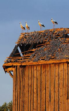 The White Stork is an unofficial symbol of Poland. After having spent the winter in North Africa, 25% of the world's White Storks migrate to Poland. Since, in Polish folklore, the stork brings prosperity to the house on which it nests, Poles encourage the birds' nesting