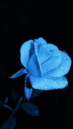 blue rose with water droplet photo – Free Plant Image on Unsplash Royal Blue Wallpaper, Blue Roses Wallpaper, Blue Butterfly Wallpaper, Blue Flower Wallpaper, Blue Wallpapers, Blue Flowers Images, Blue Flower Pictures, Rose Images, Rose Pictures