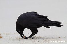 Forest Raven - Corvus tasmanicus