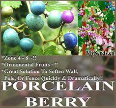 MySeeds.Co - Porcelain Berry Vine Seed - Ampelopsis brevipedunculata SEEDS - VINING