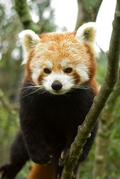 Red panda <3  Rika at the wellington zoo by nervous system, via Flickr