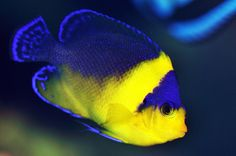 Venustus Angelfish