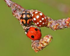 Did you know there are more than 40 species of ladybugs? Photographed by nutmeg66