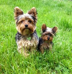 Only thing better than one Yorkie?  TWO Yorkies! They look like Odie and Brodie.