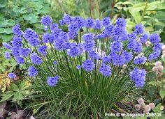 Allium sikkimense  - http://www.aspaker.no