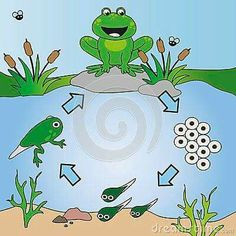 Photo about Illustration of life cycle of frog. Illustration of nature, green, animals - 38776331 Educational Activities For Kids, Preschool Science, Science For Kids, Science Activities, Science Projects, Science And Nature, Preschool Activities, Kids Learning, Lifecycle Of A Frog