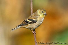 Female American goldfinch - click to see all state birds