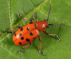 Spotted Asparagus Beetle - Google Search