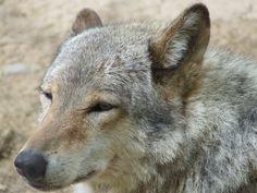 kispixfoto: Farkas... Fox, Animals, Animales, Animaux, Animal, Animais, Foxes