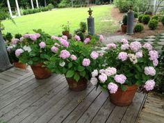Growing Hydrangeas in Pots - Container Garden Ideas : HGTV Gardens