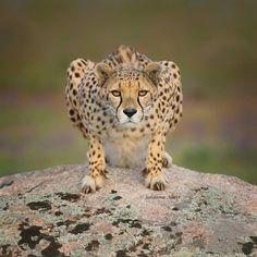 Wildlife Animals & Nature — .  Photo by @johanna abert Cheetah is watching...