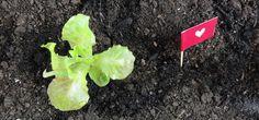 L'Orto di Martina, la nuova rubrica VeganGame per imparare a coltivare insieme un piccolo orto casalingo in vaso, in terrazzo o su un piccolo giardino. #orto #rubrica #vaso #OrtoInVaso #insalata #lattuga #vegangame http://www.vegangame.it/orto-di-martina/lorto-di-martina-inizia-la-nuova-rubrica-con-lorto-in-vaso-for-dummies