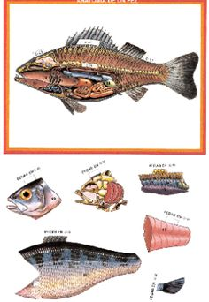 recortable_peces_colorp Montessori, Fish Anatomy, Interactive Notebooks, Paper Dolls, Animals, Unit Studies, Science, School Ideas, Editorial