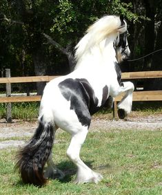 Jenn's Blue Eyed Stallion at Gypsy CaraVanners. Pictured as a yearling. Gypsy Horse, Draft Horses, Beautiful Horses, Cob, Pictures, Crosses, Board, Blue, Beauty
