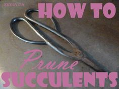 How to Prune Succulents - learn from a professional horticulturist