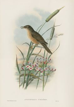 Acrocephalus Turdoides - Thrush Warbler from John Gould Lithographs of Swallows, Swifts, Kingfisher, Goldfinch, Robin & Roller Bird Artwork, Bird Paintings, John Gould, Scripture Wall Art, Nature Journal, Bird Illustration, Vintage Birds, Kingfisher, Art Journal Inspiration