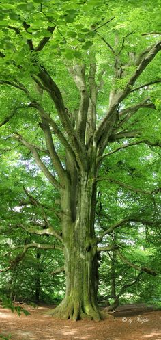 Lush green, so inviting, so beautiful, stop, breathe and take God's creation in . Beautiful World, Beautiful Places, Beautiful Pictures, Old Trees, Walk In The Woods, Nature Tree, Tree Forest, Green Man, Tree Of Life