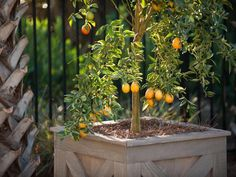 Kumquat Tree in a wooden planter box, protected by a layer of pine straw. HGTV Smart Home, Jacksonville, Fla. http://www.hgtv.com/smart-home/hgtv-smart-home-2013-deck-pictures/pictures/page-11.html?soc=pinterest