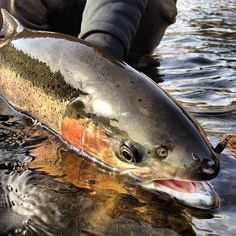 Steelhead - Fly Fishing - Fishwest. Cant wait to go Steelhead fishing with my great uncle and dad this summer in Wyoming!!!!!