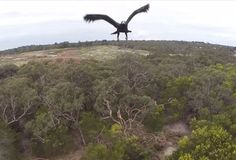 Watch An Eagle Show A Drone Who's Boss