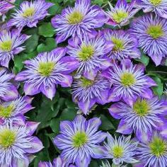 Clematis-Hybride 'Crystal Fountain'