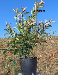 Vendita piante on line - Photinia Red Robin - Photinia Red Robin