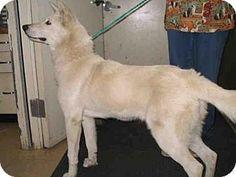 Camarillo, CA - German Shepherd Dog. Meet SHEEBA, a dog for adoption. http://www.adoptapet.com/pet/13208090-camarillo-california-german-shepherd-dog