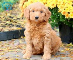 Winni | Goldendoodle - Miniature Puppy For Sale | Keystone Puppies Goldendoodle Miniature, Miniature Puppies, Goldendoodle Puppy For Sale, Puppies For Sale, Miniatures, Dogs, Animals, Animales, Animaux
