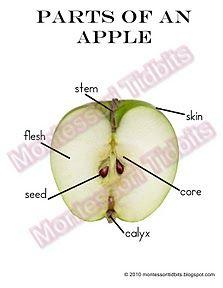 Montessori Tidbits: Parts of an apple