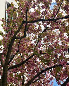 Unter den Kirschblüten ... . . . . . #kirschblüten #cherryblossom #frühling #spring #nature #photography #cherryblossoms #germany #natur #blüten #naturephotography #pink #blossom #kirschbaum #photooftheday #love #bluesky #cherry #rosa #cherrytree #baum #instagood #tree #summer #garden #frühlingsgefühle #hamburg