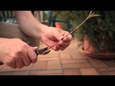 Stecklinge von der Weigelie - Über den Dächern von Berlin - YouTube