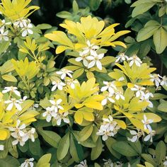 Choisya ternata 'Sundance' is an evergreen plant...shade shrub