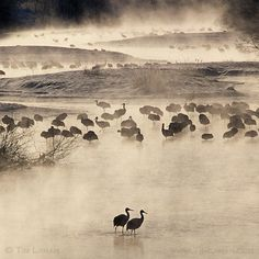 Photo by @TimLaman.  Red-crowned Cranes waking up at dawn on the Setsuri River #Hokkaido Japan.  People always tell me that photos I took on this particular morning some years ago look like paintings.  I guess when people say that about a photo its a compliment.. always trying to elevate the artistic aspects of a photograph.  Follow @TimLaman to see more of Hokkaidos Winter Wildlife.  Japanese conservationists have done a great job of bringing back Red-crowned Cranes from the brink of…